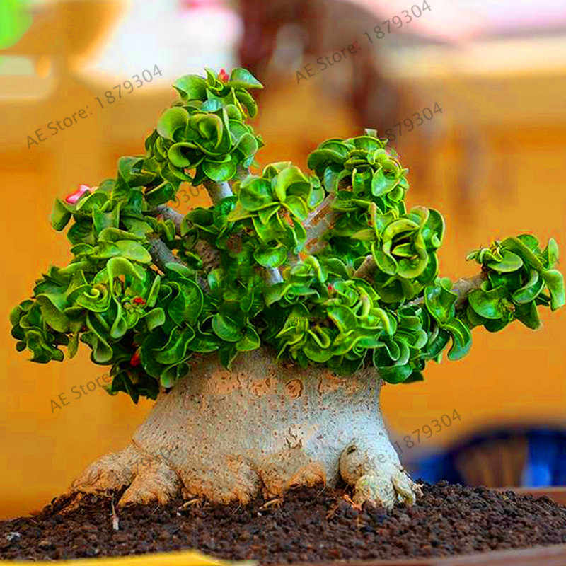 Big Sale! 1 Pcs/bag Desert Rose Flores Pot Bunga Plantas Adenium Obesum Indoor Tanaman Bonsai Mini Pot Pohon untuk Taman Rumah