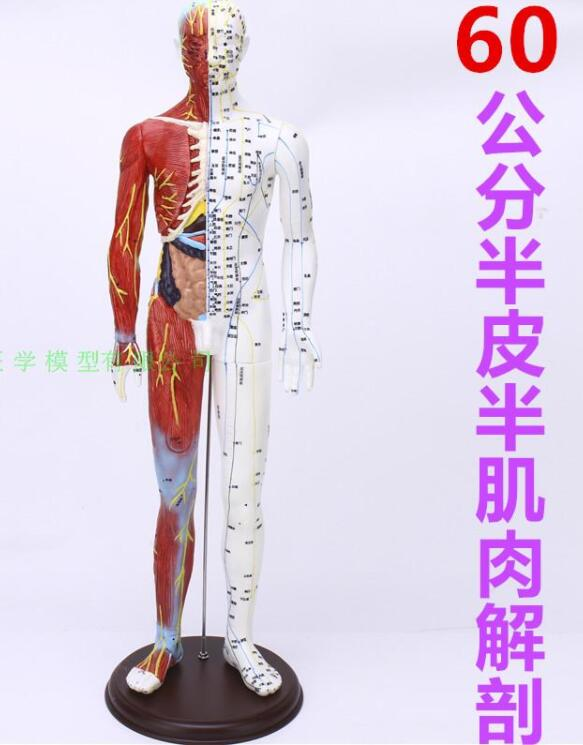 The Body Acupuncture Point Model Reflex Zone Meridian Massage, Acupuncture, Half Skin And Half Muscle Anatomy 60CM