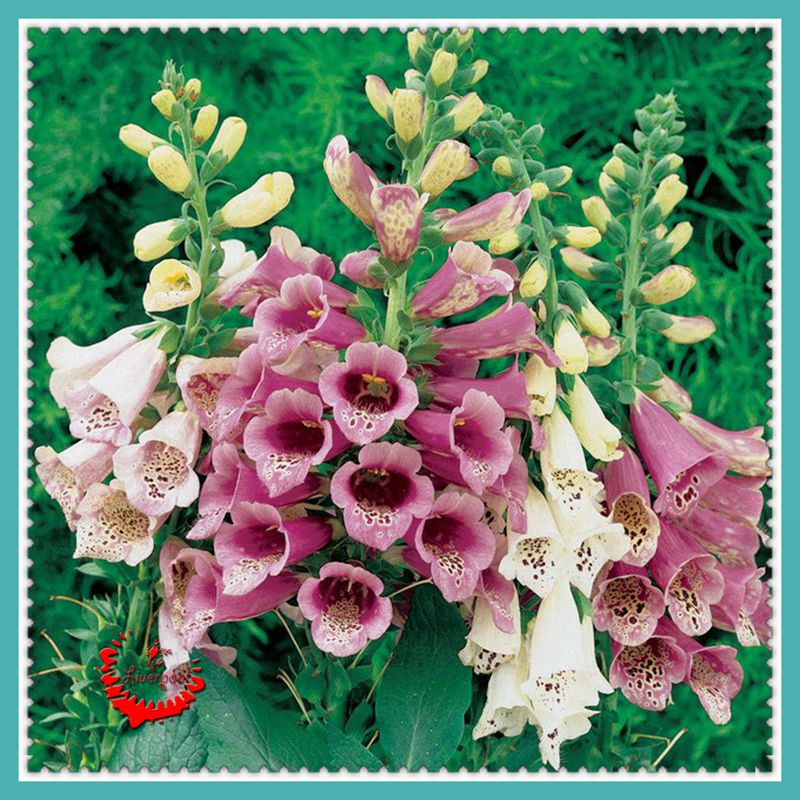 Cheap Plants That Grow Fast: Online Buy Wholesale Foxglove Flowers From China Foxglove