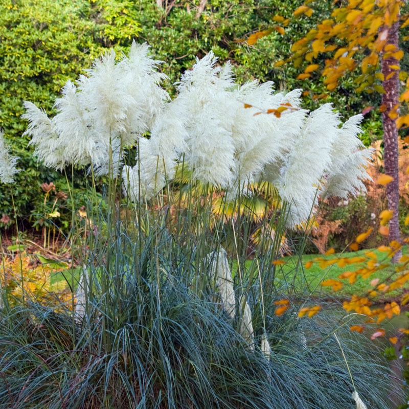 Pampas grass seed patio and garden potted ornamental plants new pampas grass seed patio and garden potted ornamental plants new flowers pink yellow white purple cortaderia grass seed 500 pcs in bonsai from home mightylinksfo