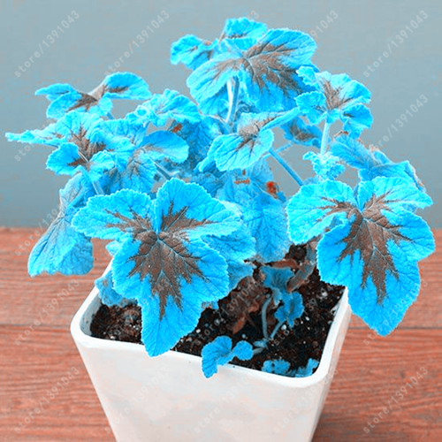 эухарисцветок в горшке комнатное растение доставка из Китая