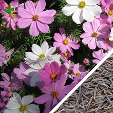 100pcs/bag Rare Cosmos Flower Seeds  And Has Rich Scent Like Diy Home Garden sun flower blooms Summer