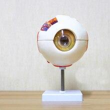 6 مرات نموذج تشريح العين البشرية ENT طب العيون مقلة العين الهيكل الداخلي القرنية القزحية عدسة الزجاجي