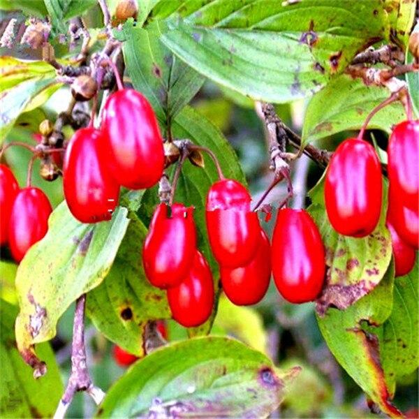 10 шт./пакет Кизил бонсай (Cornus Кизил) фрукты, технология бонзаи для Европы сладкий бонсайский горшечный завод для дома и сада