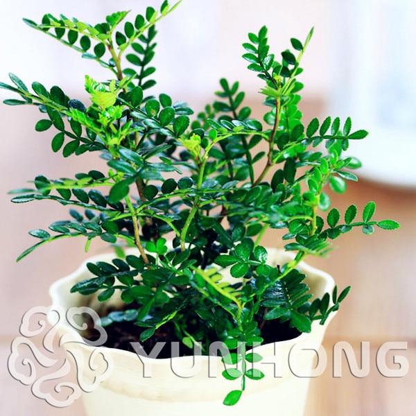 Bonsai Seeds 50pcs Japanese Pistacia weinmannifolia Seeds - Bonsai Tree Evergreen Bonsai Home gardening, free shipping