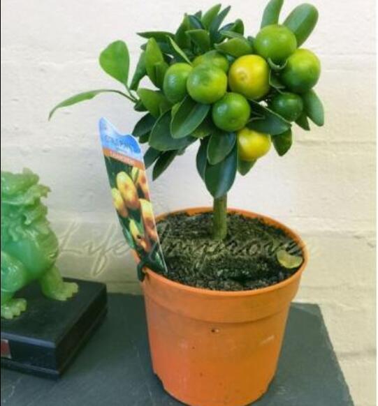 Indoor Citrus Tree Promotion-Shop for Promotional Indoor Citrus ...