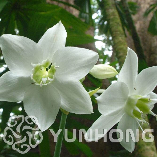 100 шт. смешанные Eucharis крупноцветковая бонсай термоустойчивые, легко растущий большой красивый цветок, бесплатная доставка легко растет