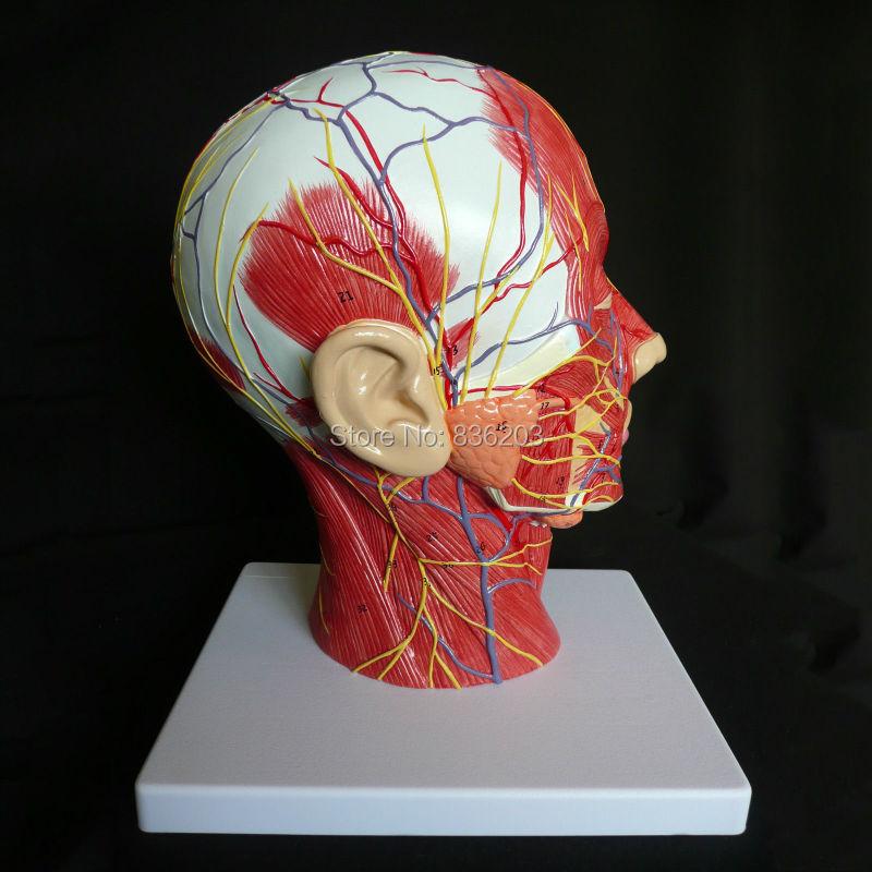 Median Section Of Human Head Neck Model In Trauma Anatomy Skeleton Dental Anatomical Shadow Brain Skullmedical Training Manikins In Medical Science