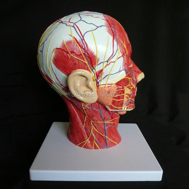 Online Shop Median Section of Human Head Neck Model in trauma ...
