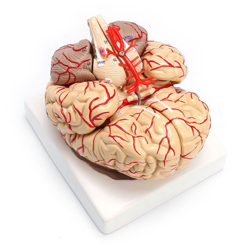 1: 1 Life Size Human Anatomical Brain Pro Dissection Medical Organ Teaching Model New