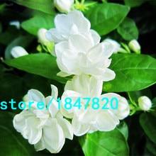Hot Sale White Jasmine Seeds Jasmine Flower Seeds Fragrant Plant Arabian Jasmine Seeds Bonsai Potted Plants Home & Garden 50PCS
