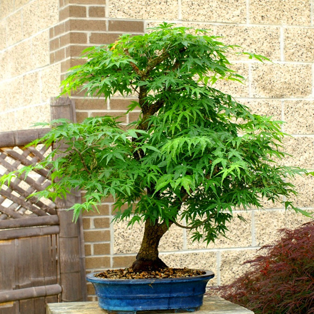 10 pcs/bag Graines Mini& Beautiful Green Maple Seeds Bonsai Ornamental Diy Plant Flower Pot Indoor Garden Tree Seed