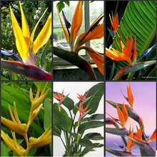 120pcs easy to plant Strelitzia perennial seeds multicolor bird of paradise flowers, indoor garden of potted plants flower seeds