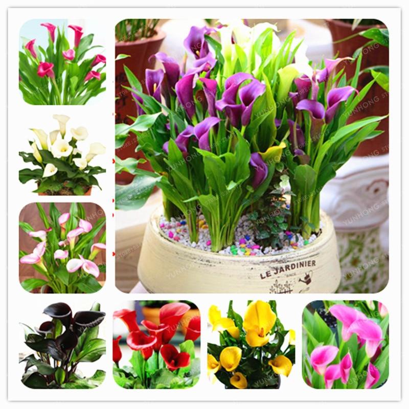 1 луковицы многоцветные Калла цветок True луковицы Калы символизирует любовь элегантный благородный цветок (Калла Лилия бонсай)