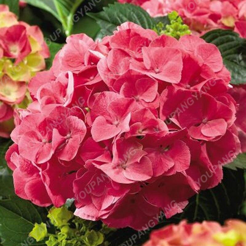 20pcs Pack Hydrangea Paniculata Vanilla Fraise Strawberry