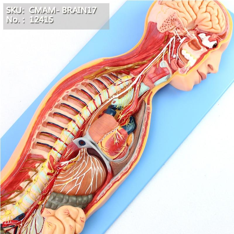 CMAM/12415 Sympathetic Nervous System, Medical Brain Anatomical Human Model