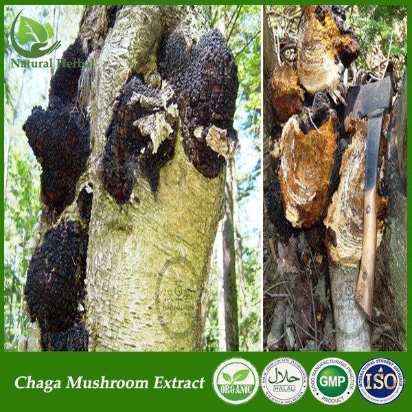 Chaga Mushroom Phaeoporus Obliquus Extract Powder Tea Bag Capsules