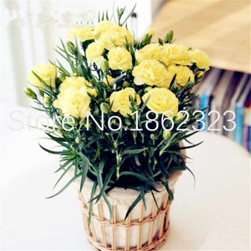Gratis Pengiriman 100 Pcs Carnation Bonsai Balkon Pot Taman Halaman Tanaman Dianthus Caryophyllus Bunga Bonsai Dekorasi Natal