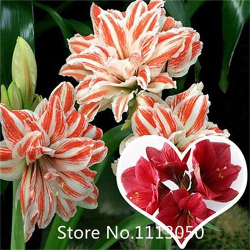 Garden Hot selling 100pcs Hippeastrum bulbs bonsai DIY home garden free shipping for Christmas