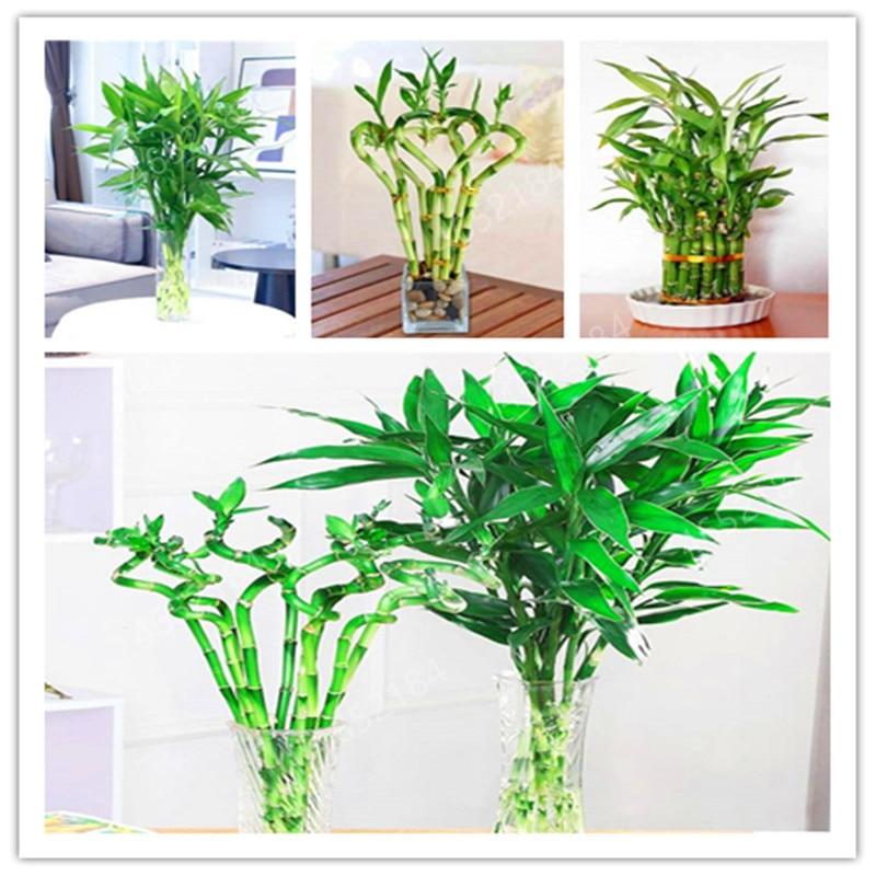 50 Pcs Pack Lotus Bamboo Bonsai Potted Balcony Lucky Bamboo Plants