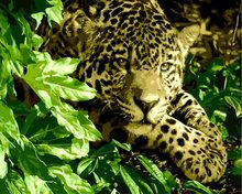 Unframed Leopard Animal Oil Painting By Numbers Color Kits Paint On Canvas wall picture(China)
