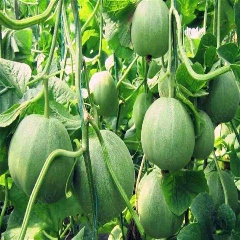 20 pcs Super Big Dolce Miele di rugiada Melone piante piante Heirloom Piante Succulente Melone Hami Melone Frutta Per Giardino pianta