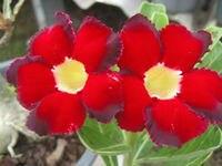 100 Genuine No 3194 Adenium Obesum Seeds 100 SEEDS Bonsai Desert Rose Flower Plant Seeds