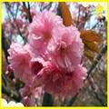 Alta calidad polvo de extracto de flor de cerezo/polvo de cereza/cereza acerola extracto 200g