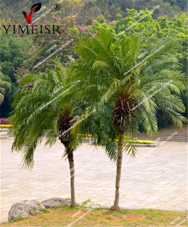 Phoenix loureirii palm tree seeds Rare Perennial Tropical Plant Bonsai tree seed for Home garden outdoor tree seed 10pcs/bag