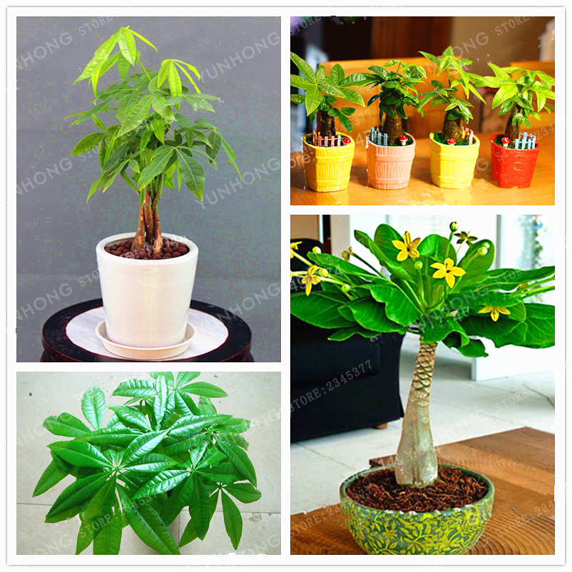 1 Pieces Mini Pachira Macrocarpa Bonsai Hawaiian Make Money Tree Plant  Bonsai Pot Indoor Flowers Plant Bonsai DIY Potted Plants