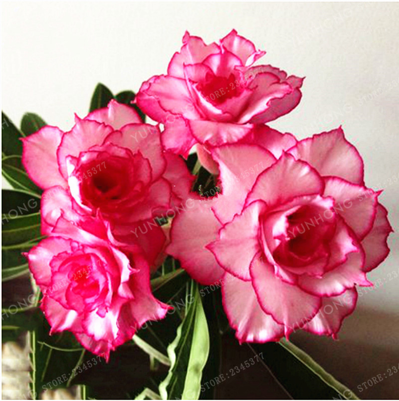 1 Pcs/ Seeds Whitish Light Pink Flowers With Rose Red Edge Seeds 10 layer Compact Desert Rose Flowers ...