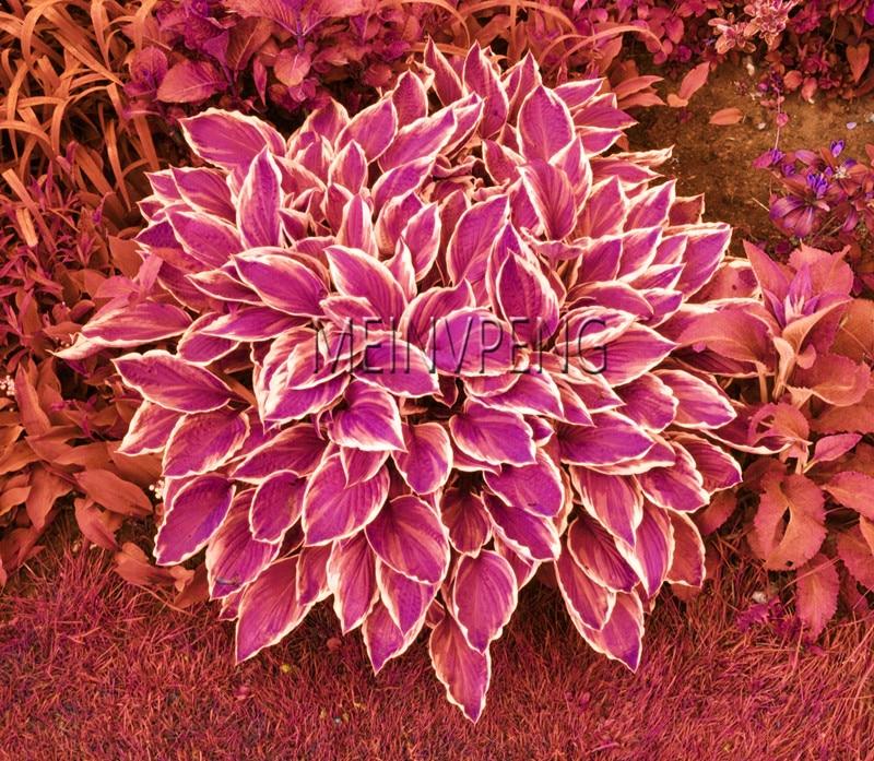 Til salg! 100 Pieces / Pack hosta frø stauder plantain smukke lilje blomst Hvid blonde hjem haven grunddækning planter, # 1W8T65