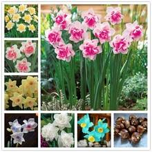 Bulbs,daffodil narcissus radiation petals aquatic absorption true potted plants bulbs plant