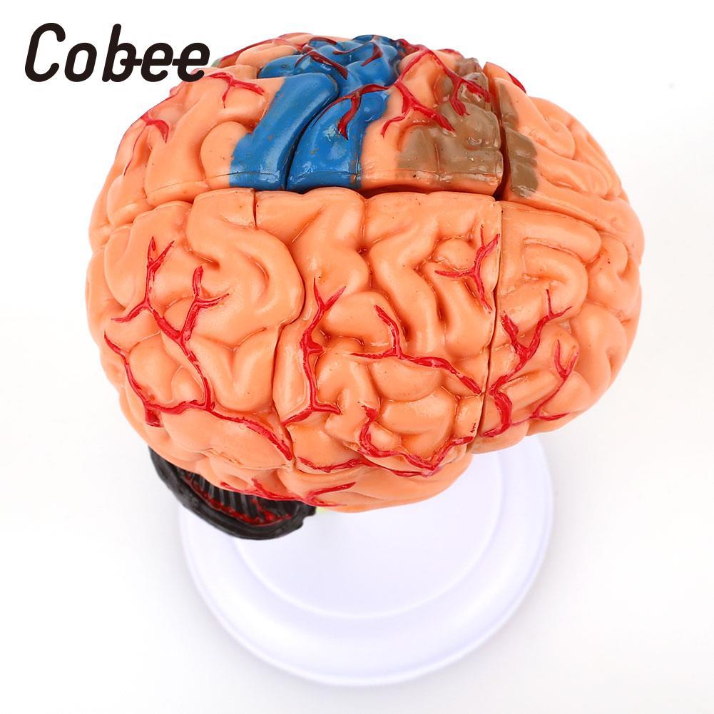 Cerebro humano modelo de enseñanza médico anatomía del cerebro ...