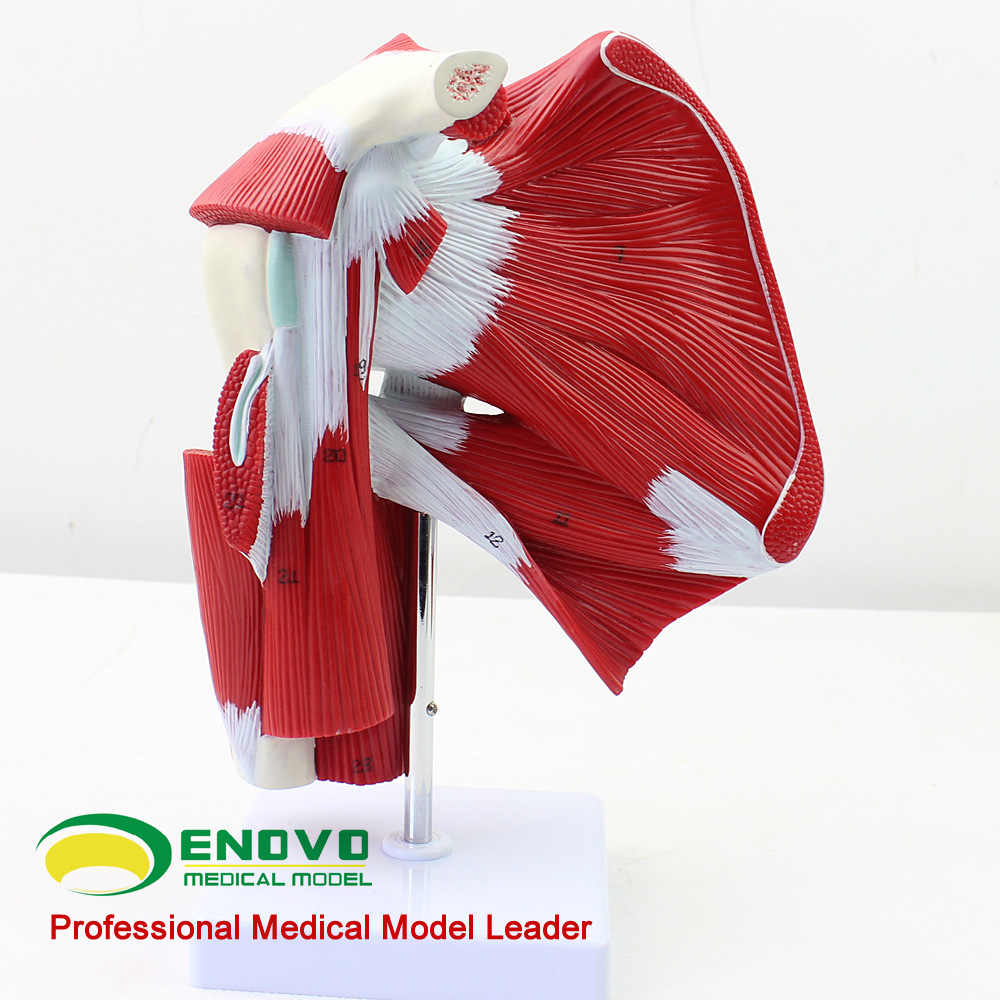 Medical Human Shoulder Joint Muscle Tendon Anatomy Biology Model  Surgery  Mannequin Body