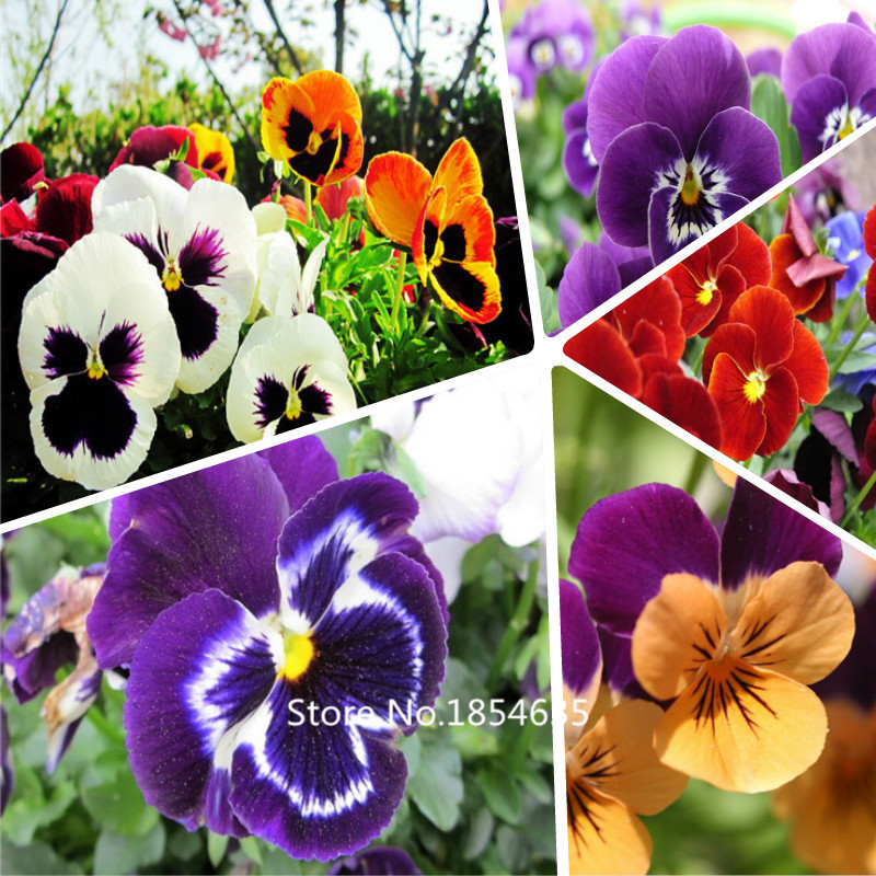 Garden Plant  Free shipping 200pansy seeds, flower seeds, new plants Bonsai Seed