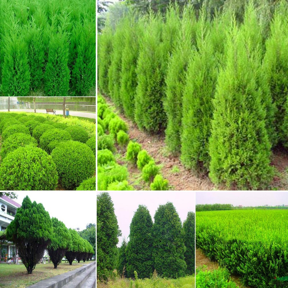 Types of cypress trees for landscaping pictures to pin on for Types of landscaping plants