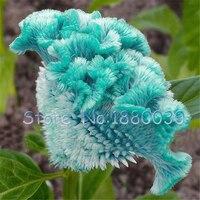200PCS rare Japanese seed sky blue cockscomb flowers potted bonsai garden courtyard balcony