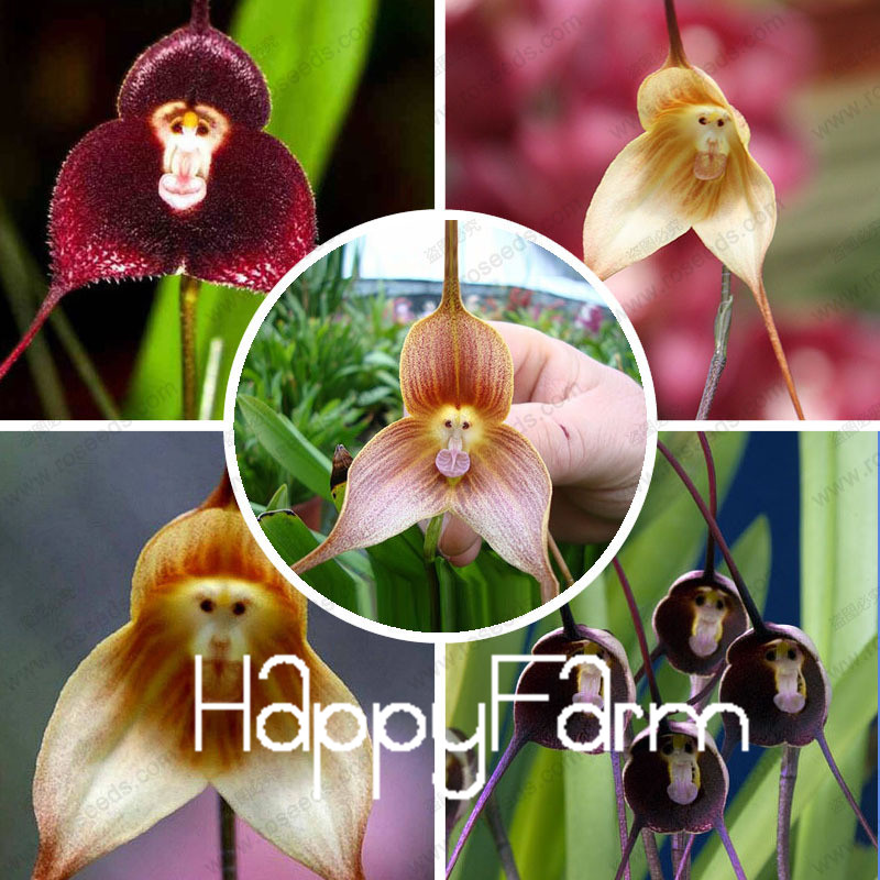 rare orchid seeds,Beautiful Monkey face orchids seeds, Multiple varieties Bonsai seeds 100 pcs a bag,#75VIHY