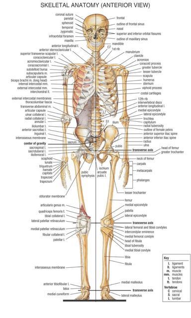 Menschlichen Körper Anatomischen Diagramm Muskel System Aquarell ...