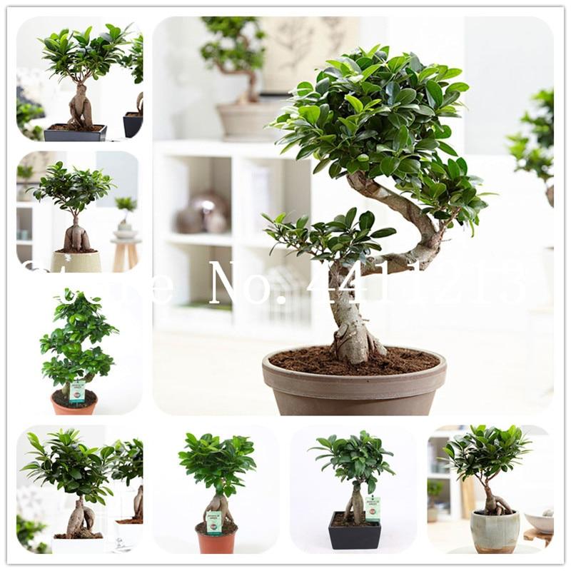Chinese Rare Ficus Microcarpa Tree Bonsai 30 Pcs China Roots Sementes Bonsai Ginseng Banyan Garden Tree Outdoor Planting