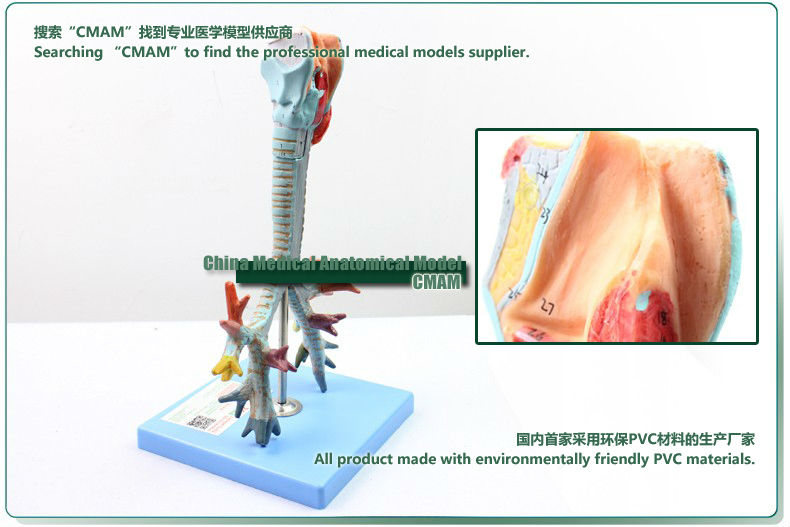 12502 Cmam Lung05 Larynx Trachea Bronchial Tree Model Life Size