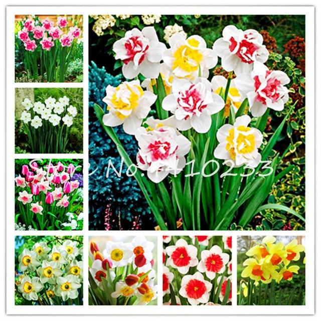 Bonsái 100 piezas mezcladas Narciso flor bonsái Daffodil bonsái planta de flores doble pétalos absorción radiación olla Diy hogar jardín