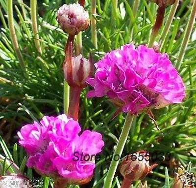 Flowers bonsai seeds armeria maritima splendens sea pink great for flowers bonsai seeds armeria maritima splendens sea pink great for cut flowers mightylinksfo