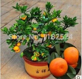 50pcs Sugar Orange Fruit Tree Seeds