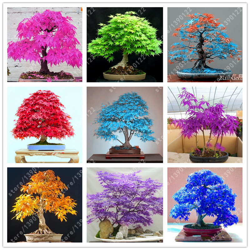 20pcs bag japanese maple seeds fire maple bonsai flower seeds tree seeds potted plant 98%germination 9 colors for home garden