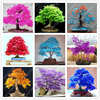20pcs/bag japanese maple seeds fire maple bonsai flower seeds tree seeds potted plant 98%germination 9 colors for home garden