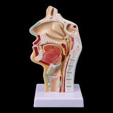 Человеческая анатомическая носовая полость, анатомия горла, медицинская модель, обучающий инструмент