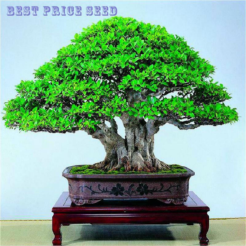 A 20PCS Banyan Tree Seeds Ficus Ginseng Seeds Bonsai Tree For DIY Home Garden plant Semente By consumers all over the world like