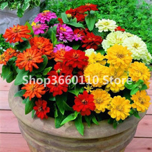 Seedsplants Zinnia bonsai Spring sowing flower species Easy planting potted landscape Greening engineering 100pcs
